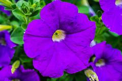 Violette flower with a yellow core (musti_west) Tags: flower macro nature rain rose garden bokeh outdoor sony natur lila alpha blume makro neighbor garten regen bunt 6000 flourish nachbar violette blhen colerful