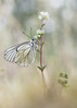 Otra aporia mas (toño15) Tags: naturaleza insectos macro primavera spring spain nikon bokeh butterflies blanca galicia tamron mariposas ambiente ourense aporia valdeorras