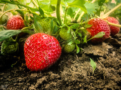 Strawberries! (Hasan Yuzeir) Tags: red green fruit strawberry phone samsung delicious soil eat galaxy jam fertile hasanyuzeir