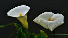 ~~Mes Arums n'aiment pas la pluie ...~~ (Jolisa) Tags: flowers macro fleurs eau bokeh pluie arums gouttelettes juin2016