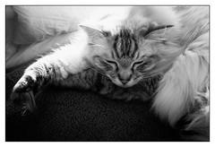Ragdoll sleeping  #8792 (lynnb's snaps) Tags: blackandwhite bw cats digital canon ragdoll 6d lr4 ef40mmf28stm