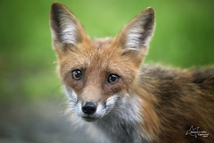 Red Fox - Close Up (*~ Nature's Gifts Captured  ~*) Tags: nature closeup photoshop newjersey eyecontact wildlife creative headshot fox redfox wildlifephotography specanimal specanimalphotooftheday wildnewjersey naturesgiftscaptured nikond4s tamihrycak spring2016 naturecoseup