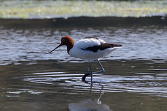Red-necked avocet (Byron Taylor) Tags: nature bondi birds canon wildlife gull australia nsw bondibeach avocet silvergull redneckedavocet australiasia canon7d