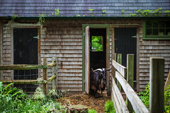 Goat At The Door (Evan's Life Through The Lens) Tags: life camera blue 2 summer two sky orange green wet glass rain weather animals clouds self canon lens grey day gloomy bright zoom cloudy mark farm wide adventure explore telephoto ii 5d f28 mk damp 2016 2470mm