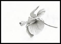 Hibiscus (Karwik) Tags: flower pencil pencils drawing rosa hibiscus mallow hibiskus kwiatek kwiat sinensis ołówek rysunek olowek