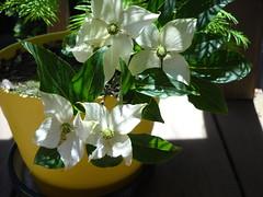 Redwood seedling & Dogwood blossoms (Crickett-Grrrl) Tags: dogwood blossoms dawnredwood redwood seedling foliage shady