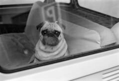 Parked dog (giacomo tiberia) Tags: blackandwhite dog film car parking ishootfilm contax g1 ilford