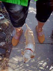 orange shoes and orange dog collar (EllenJo) Tags: orange dog pet chihuahua pentax floyd digitalimage 2016 june14 ellenjo ellenjoroberts pentaxqs1