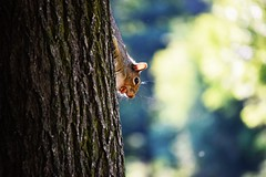 No worries....No hide & seek game....I'm here to make you famous. By the way, say cheese!!!! :-) (Rakhesh Sivadasan) Tags: ngc nature animal squ squirrel hideseek forest green scary cheese