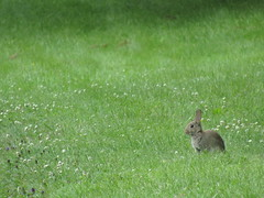 Lots of rabbits about this morning! (stevencarruthers93) Tags: greenheart