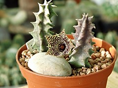 Huernia loeseneriana Schltr. (Skolnik Collection) Tags: collection suculent huernia skolnik schltr loeseneriana