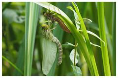 Frisch geschlpfte Libelle (GST Foto's) Tags: libelle metamorphose libellenlarve larvenhaut libellenschlupf