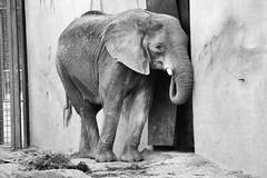 Elephant (GijsTooten) Tags: nature netherlands zoo rhenen the