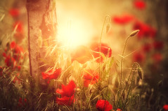 """""""And there it was, that warm and golden light...."""" (Ilargia64) Tags: flowers light sunset nature beauty field gold softness happiness poppy goldenlight amayasanchez"""