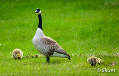 Sweden - May 2016 - Canada Goose with chicks (Skues) Tags: chicks canadiangoose brantacanadensis pisklta berniklakanadyjska bernikla