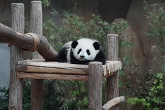 DSC04001 (kuromimi64) Tags: bear zoo panda malaysia nationalzoo kualalumpur giantpanda   zoonegara       nuannuan selangordarulehsan  zoonegaramalaysia