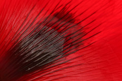 Red Black Glossy (gripspix (OFF)) Tags: 20160605 nature natur plant pflanze blte blossom poppy mohn klatschmohn papaverrhoeas petal bltenblatt texture textur