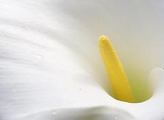 calla (sbilfy) Tags: white flower blanco yellow calla amarillo giallo fiore bianco