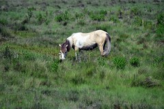 DSC_5460=1ChincoteaguePony (laurie.mccarty) Tags: horse nature wildlife pony wildhorses chincoteaguepony nikond810