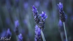 Lavender (PJEnsell) Tags: travel flowers wild summer plants flower comfortable yard garden warm purple lavender smell nomad simple vignette herb cosy wander fragrance travelphotography lifethroughalens