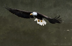 American bald eagle (Susan Newgewirtz posting break back in 2 months) Tags: ontario bird eagle outdoor raptor oiseau wildlifephotography