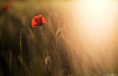 (Photographordie) Tags: light sunset sunlight atardecer bokeh 14 85mm poppy amapola beautyinnature samyang rokinon85mm epm2 olympuspenepm2 samyangasphericalif85mmf14