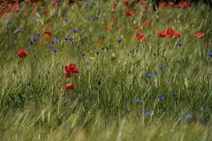 Happy Midsummer! (Infomastern) Tags: flower field wheat poppy blomma cornflower geolocation vallmo flt beddingestrand blklint geocity camera:make=canon exif:make=canon geocountry geostate exif:lens=efs18200mmf3556is exif:focallength=200mm exif:aperture=80 exif:isospeed=100 camera:model=canoneos760d exif:model=canoneos760d