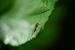 . (vieubab) Tags: moustique insecte vert extrieur feuille nature macro bokeh grosplan saveearth sonyflickraward sony unlimitedphotos lumire luminosit