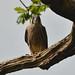 Peregrine falcon (juv.)
