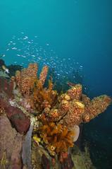 Scuba diving in Dominica (Izzysan) Tags: dominica dom dominicaphotography dominicaphoto dominicaimage underwater unesco underxmag wetpixelunderwaterphotography diving divephotoguideunderwaterphotography scuba scubadiving inon ikelite nikon nikondslr nikonslrgroup