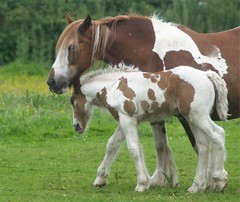 Mother & Son (Flossyuk) Tags: horse foal animal