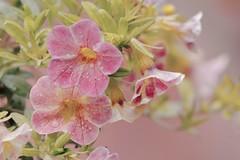 Lumire et rose... (Lucien-Guy) Tags: pink flowers light rose fleurs nikon soft lumire dslr douce couleur douceur rose d7100