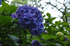 DP2Q3995lr (yoshitoshi ABe) Tags: flower sigma    dp2quattro 20160625