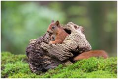 Red Squirrel - Eekhoorn (Sciurus vulgaris) ..... (Martha de Jong-Lantink) Tags: zeeland redsquirrel eekhoorn 2016 sciurusvulgaris rodeeekhoorn clinge gewoneeekhoorn stichtinghetzeeuwselandschap boshutclinge