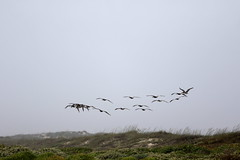 Those pelicans in the mist  _7Dii0922 (cold_penguin1952) Tags: mist pelicans birds padreislandnationalseashore