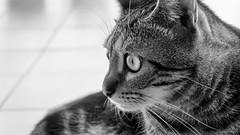 DSCF3154-Acros (gRom62) Tags: bianco nero animalidomestici gatti blackandwhite pets cats ngc