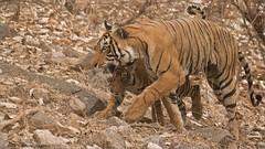 Tigress T60 and her Cub (Raymond J Barlow) Tags: tiger wildlife animal india phototours raymondbarlow travel adventure mother cub nature