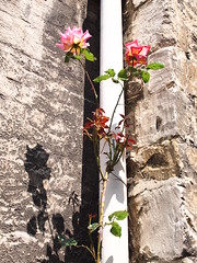 P7074024 (louisecrouch) Tags: light shadow roses summer flower floral rose botanical outdoors sillouette stonewall pinkroses summergarden countrygarden gardenflower outdoorflower
