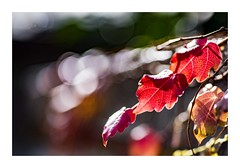 A Trio of Red (red stilletto) Tags: autumn winter light red macro bokeh autumnleaves autumnleaf
