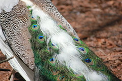 Peacock Tail (Shakespeare1980) Tags: feathers peacocktail
