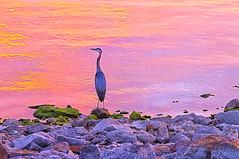 Pastel Heron (Kansas Poetry (Patrick)) Tags: heron clintonlake patrickemerson patricknancywalkthedogs