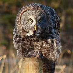 Changing positions (annkelliott) Tags: canada bird nature birds greatgreyowl alberta owl perched greatgrayowl ornithology avian birdofprey eveninglight fencepost strix talons excellence strigiformes strixnebulosa strigidae leaningforward avianexcellence nwofcalgary verylargeowl