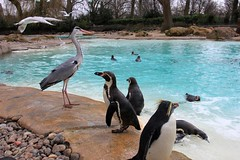 London Zoo 11-03-2013 (Karen Roe) Tags: camera city uk greatbritain england london english water animals female digital swim canon geotagged island photography zoo march photo humboldt europe day photographer shot britishisles image unitedkingdom britain capital sightseeing picture visit snap tourist photograph gb british dslr capture visitor londonzoo glide 2013 550d zsl zoologicalsocietyoflondon karenroe canoneos550d