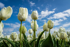 A white tulip field against a blue sky (Fredde Nilsson) Tags: flowers blue white flower holland green netherlands field clouds day tulips blossom tulip tulp tulpan pwpartlycloudy