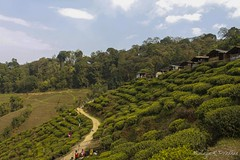IMG_0956 (Malaya K Pradhan) Tags: travel people india green work canon tea path farm farming tourists huts hut greenery lookingdown atwork teagarden darjeeling pathway peopleatwork malaya westbengal teagardens travelphotography canon500d northbengal touristplace darjeelingteagardens malayapradhan malayakpradhan