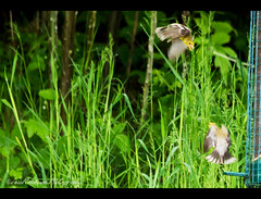 Border Skirmish (Jess Robinson Photography) Tags: bird goldfinch finch americangoldfinch borderskirmish