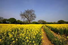 Rapeseed field, Essex, UK (**Anik M