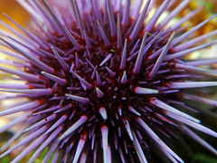 Urchin (NirupamNigam) Tags: santacruz underwater southerncalifornia spines urchin channelislands seaurchin purpleurchin californiadiving northernchannelislands
