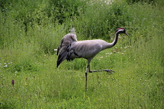 Eurasian Crane (Munki Munki) Tags: nature birds washington crane conservation waterfowl northeast eurasiancrane washingtonwetlandcentre