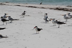 2013 06 12_4495_gulls, terns, and skimmer (nbc_2011) Tags: bird gulfofmexico nature birds florida gull royaltern tern animalplanet skimmer planetearth blackskimmer terns laughinggull rynchopsniger rynchops northwestflorida